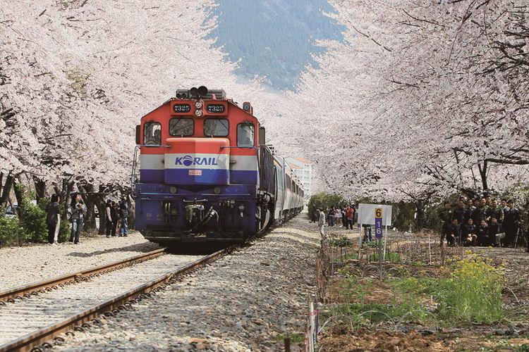 Xứ hoa anh Đào Hàn Quốc